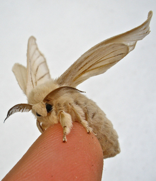 the-moth-princess:  Bombyx mori