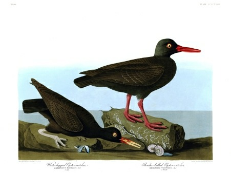 thebirdsofamerica:  Plate 427 of John Audubon's The Birds of America, the White-legged Oyster Catcher and the Slender-billed Oyster Catcher. (This bird's common name, oystercatcher, hasn't changed since Audubon's time, and does beg the question- How hard can it be to catch an oyster when you've got wing? They aren't exactly going to run away, are they?)