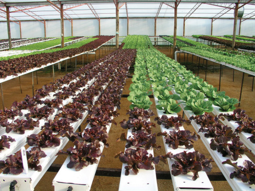 cosmonautcc:  Hydroponics is a method of growing plants using mineral nutrient solutions, in water, without soil. In natural conditions, soil acts as a mineral nutrient reservoir but the soil itself is not essential to plant growth. When the mineral nutrients in the soil dissolve in water, plant roots are able to absorb them. When the required mineral nutrients are introduced into a plant's water supply artificially, soil is no longer required for the plant to thrive. Almost any terrestrial plant will grow with hydroponics. Hydroponics is also a standard technique in biology research and teaching.