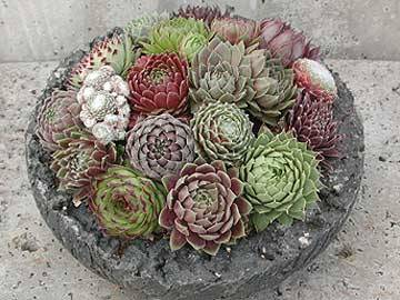 Sempervivum collection Hens and Chicks