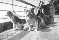 magicalnaturetour:  firepaw:   Dogs of the Titanic: a Dozen Aboard, Three Survived  April 15, 2012, marks the 100th anniversary of the sinking of the Titanic, the ship touted as unsinkable, during her maiden voyage from Southampton, England, en route to New York. Much research has been done on the passengers, crew, and the ship itself over the years. But little has been reported about one group of passengers — the dogs of the Titanic. Many think of their pets as part of the family, and it's evident that that sentiment was as true 100 years ago as it is today. Widener University, named for a prominent Philadelphia family that had three members on board, will honor the memory of that fateful voyage with an exhibit, a part of which will feature the dogs on board. I spoke with the producer and curator of the exhibit, J. Joseph Edgette, Ph.D., on the telephone last week. He shared his knowledge of the Titanic and her four-legged passengers. Dr. Edgette, you're known as an authority on the Titanic. How long have you been researching and working on this exhibit? Dr. Edgette: I've been researching the Titanic for about 20 years, but working on this particular exhibit for approximately eight months. How many dogs were actually on board at the time of sailing? Dr. Edgette: There might have been more, but based on eyewitness accounts and ship's records, there were 12 confirmed, only three of which survived. I've seen pictures and read that the ship's captain, Capt. Smith, had his dog aboard. Was he one of the dogs that survived? Dr. Edgette: The dog seen in those photos was indeed Capt Smith's. Benjamin Guggenheim did a lot of traveling, often on ships skippered by Capt. Smith, so he knew him and his family well. Guggenheim, although originally scheduled to sail on another vessel, ended up on the Titanic, and brought a large Russian Wolfhound as a gift for the captain's daughter. The day before sailing, Smith had his photo taken on board with the dog that he named Ben in honor of the man who gifted him. The dog remained overnight, but was taken home to his daughter the next morning, so he was not on board when the ship got underway. Why were the three dogs saved when there was so little room in the lifeboats for people? Was there a public outcry that dogs were rescued when so many people perished? Dr. Edgette: The dogs that survived were so small that it's doubtful anyone even realized they were being carried to the lifeboats. Two were Pomeranians and the third was a Pekinese, all tiny dogs. One Pomeranian named Lady, bought by Miss Margaret Hays while in Paris, shared the cabin with and was wrapped in a blanket by Miss Hays when the order was given to evacuate. The Rothschilds owned the other Pomeranian, and the Pekinese, named Sun Yat-Sen, was brought on board by the Harpers (of the N.Y. publishing firm, Harper & Row). It seems only prominent families had dogs aboard the Titanic. Is that true? Dr. Edgette: Yes. Only first class passengers had dogs on the voyage. One family even received an insurance settlement for their two dogs that didn't survive. I'm surprised that family pets were insured back then. Do you have more background on that? Dr. Edgette: Another wealthy passenger, William Carter of Philadelphia, was traveling with his wife Lucille and their two children. Carter insured his wife's jewelry and other items of value, including the 1912 Renault automobile purchased in Paris. A replica of that vehicle is what appears in Jack and Rose's steamy love scene in the 1997 movie. The vehicle was insured for the full purchase price of $5,000; their daughter Lucy's King Charles Spaniel was insured for $100, young Billy's Airedale for $200. The children begged to take the dogs when evacuating, but Carter insisted that they were too big and that they'd be fine in the ship's kennel. Both dogs perished and the insurance company paid the settlement. What other dogs didn't survive the tragedy? Dr. Edgette: A toy poodle belonging to Helen Bishop, a Fox Terrier named Dog, millionaire John Jacob Aster's Airedale named Kitty. Robert Daniel brought Gamin de Pycombe, his French Bulldog, on board, and there were several others, whose names aren't known. Although a few of the animals shared the cabins of their owners, most were kept in the ship's kennel and tended to by crewmembers, so they were considered more as cargo and not on any passenger manifest. One particularly sad story involves a Great Dane owned by 50-year-old Ann Elizabeth Isham. Miss Isham visited her dog at the ship's kennel daily and when she was evacuating, asked to take him also. When she was told the dog was too large, she refused to leave without him and got out of the lifeboat. Several days later, the body of a woman clutching a large dog was spotted by crew of the recovery ship, Mackay-Bennet, and dinghies were dispatched. Eyewitness accounts by crew and ship's log confirm the sighting and recovery, and the body recovered is assumed to be Miss Isham. Of the photos that have been circulated about the ship, were any taken of the dogs aboard the Titanic? Dr. Edgette: There are two photos of dogs taken on board, one of crewmembers walking the dogs, and another of a group of dogs tied to a rail. The photos were taken by amateur photographer, Fr. Frank Brown, who disembarked the ship in Queenstown, Ireland before she embarked on her transatlantic journey. Interestingly, Fr. Brown's are the only photographs of the interior of the Titanic known to be in existence, as the White Star Line had contracted with the Rochester firm, Eastman Kodak, to take photos upon the ship's arrival in New York, which of course never occurred. I've heard a tale of a cat who survived the voyage. Do you have any knowledge of that? Dr. Edgette: Crew often had at least one cat on board each ship to help keep the rat population down. It's said that there was a cat with young kittens aboard the sea trials of the Titanic but when the ship arrived in Southampton from Belfast, she was seen disembarking. Up and down the gangplank she went, retrieving one kitten at a time that she deposited on the dock. She and the kittens quickly disappeared and it was later said that had some sort of premonition that the voyage wasn't going to be a good one. The Widener University exhibit will be open from April 10 through May 12. Admission is open to the public at no cost.  Since this is the 100th anniversary of the sinking of the Titanic I would once again like to remember the dogs of the Titanic. :) Respect to the cat. Got her ass in gear and peaced. Also, the humans survivors only had a 7% higher chance of living than the dog ones.