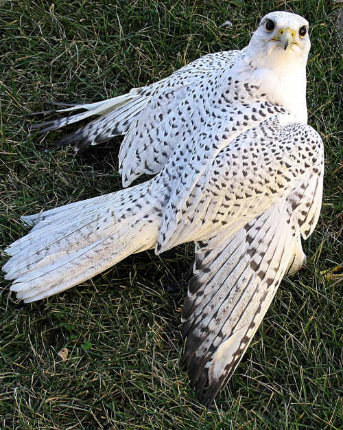featheredjourney:  white gyrfalcon by otisasio Evan
