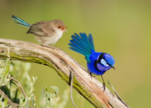 fairy-wren:  Splendid Fairy Wrens (photo by shelley90)
