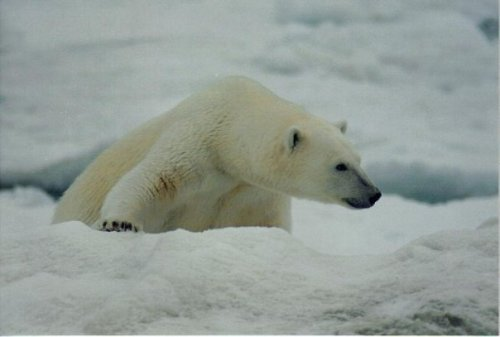 "discoverynews:  Why Are Alaska Polar Bears Losing Their Fur? Scientists are trying to determine why some polar bears in Alaska are suffering from fur loss and skin lesions, and whether the phenomenon is related to a disease that has been killing seals in the region. According to United States Geological Survey (USGS) chief biologist Tony DeGange, scientists examined 33 bears during routine field studies in the southern Beaufort Sea region near Barrow in late March and early April; of those, nine had fur loss, or alopecia, and other skin lesions. DeGange says that, while it is not atypical to find some bears with those symptoms, it is unusual to discover the ailments in so many in such a short time. ""The first day we observed it was on March 21st and we had three captures and two of them had alopecia, and so it was like, 'Oh that's interesting,'"" he told the Alaska Public Radio Network. ""Then we started picking it up on other animals in later March so it was like, this is more than normal."" keep reading"