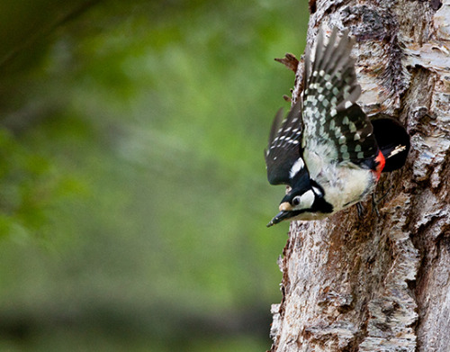 Woodpecker 1| Scotland