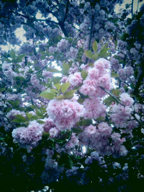 Ornamental plum in bloom - Baltimore, MD [photo © Maitreya Levanchild]