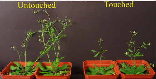 "laboratoryequipment:  Plants' Defenses Respond to TouchA new study by Rice Univ. scientists reveals that plants can use the sense of touch to fight off fungal infections and insects. The study, which will be published in the April 24 issue of Current Biology, finds that plant defenses are enhanced when plants are touched.""From previous studies, we knew that plants change their growth in response to touch but we didn't know how these growth changes were activated,"" says Wassim Chehab, a faculty fellow in Rice's Department of Biochemistry and Cell Biology and lead author of the new study. ""We used a widely studied plant, Arabidopsis thaliana, to test the idea that the touch-induced growth was regulated by a plant hormone called jasmonate.""Read more: http://www.laboratoryequipment.com/news-Plants-Defenses-Respond-to-Touch-041012.aspx"