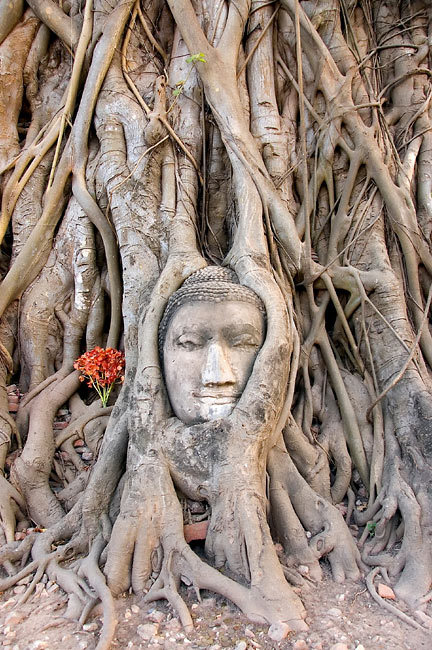 Isn't this head of Buddha incredible? The nature connected with the art.              The Ayutthaya the ruins of the old city of Ayutthaya in Thailand. UNESCO World heritage.