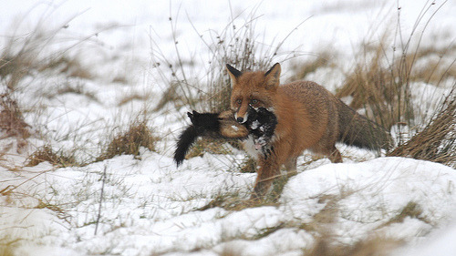 red fox animals snow nature polecat