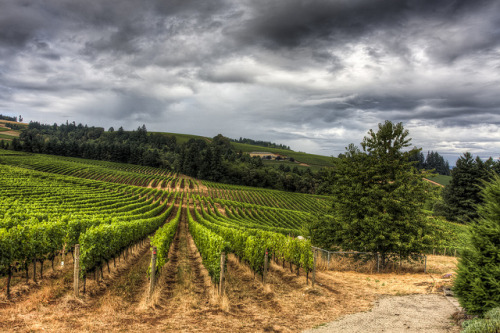 Portland Sep_11 picks-4 by jackfrench on Flickr.Ominous sky over vineyard