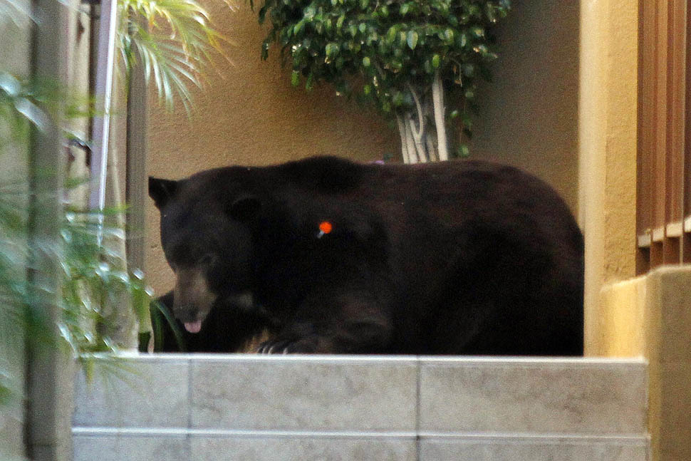 "latimes:  The ""Glendale bear,"" a 400-pound black bear that has been causing a stir with its visits to the hillside communities around Angeles National Forest, was given a lift back home Tuesday morning after Fish and Game authorities captured and contained him. Bye, Glen Bearian… Photo: La Crescenta — The bear starts to feel the effects of the tranquilizer, finally collapsing. Credit: Irfan Khan / Los Angeles Times"