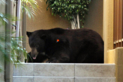 "The ""Glendale bear,"" a 400-pound black bear that has been causing a stir with its visits to the hillside communities around Angeles National Forest, was given a lift back home Tuesday morning after Fish and Game authorities captured and contained him. Bye, Glen Bearian… Photo: La Crescenta — The bear starts to feel the effects of the tranquilizer, finally collapsing. Credit: Irfan Khan / Los Angeles Times"