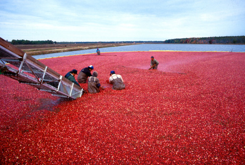 "factandaphoto:  Cranberries are harvested as pictured above — the beds are flooded and the floating berries are ""wet-picked."" (About 5-10% of cranberries harvested in the United States are ""dry-picked."") (Photo via Wikimedia Commons)"