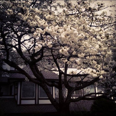 Pretty flowering trees equals springtime in Vancouver. (Taken with instagram)
