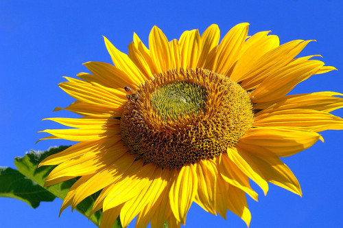 sunfl0werrs:  The bright sunflower embodies strength, beauty, complexity, and the power and radiance of the sun and mother earth. And it also brings cheer to humans that witness its beauty and its gift of life and intelligence to other small and large creatures.  — Dan Sanchez