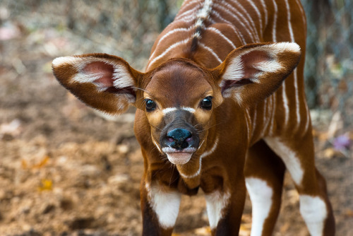 THIS THING IS ADORABLE!! Apparently it's a Bongo!