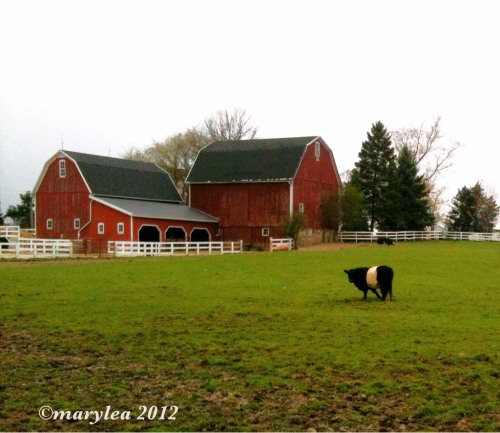Red barn with Belted Galloway cow. April 10, 2012.