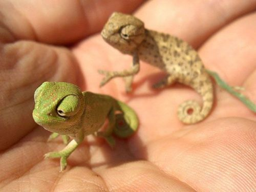 llbwwb:  Teenie chameleons. via:cutestuff