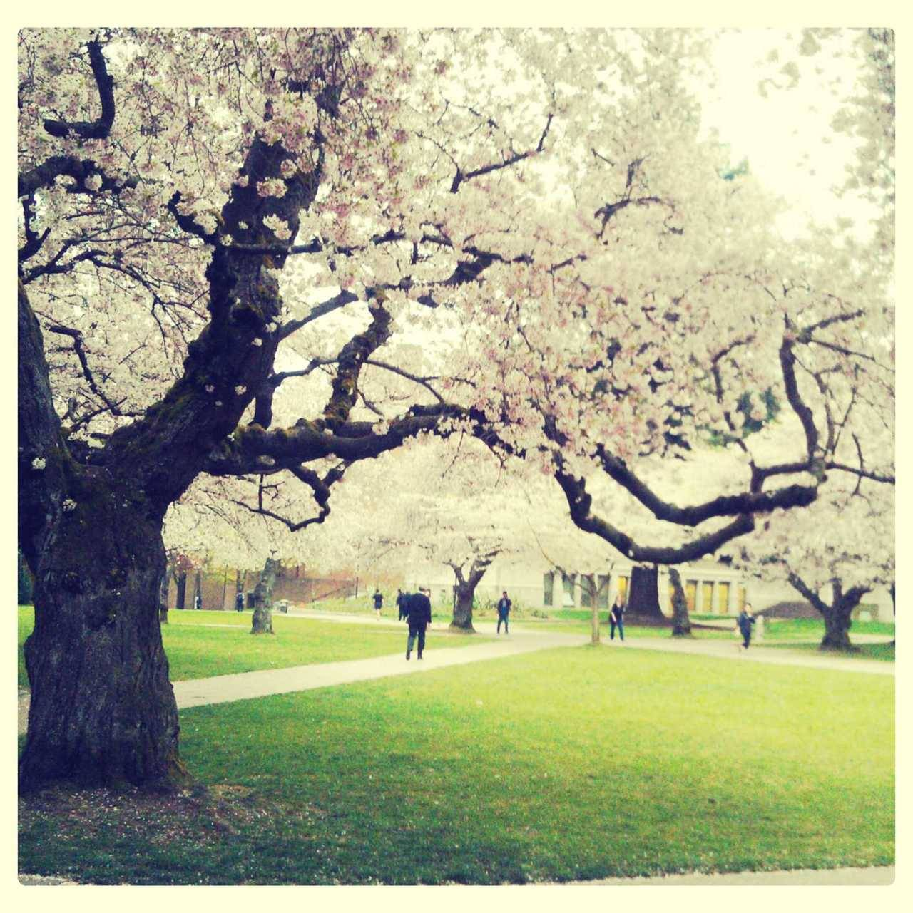 my last yr seeing the cherry blossom trees @ uw as an undergraduate!