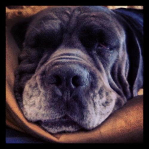 Morning from Blue #canecorso #ifuckinglovemydog #italianmastiff  (Taken with Instagram at Home sweet home)