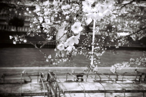 Reblogging myself again. Took some black and white holga pics of the sakura. This one's not too bad!
