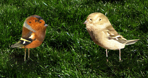 look at these two wee chaffinches that i just spotted.