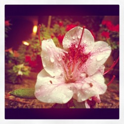 I love photography! #flower #raindrops #instamood #pink #rain #shine #love #iphone  (Taken with instagram)