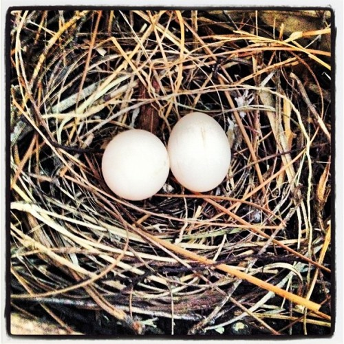 2 Eggs in a nest. #eggs #nature #nest #dove #bird #gmy #iphone4s #picoftheday #statigram #photography #igaddict  (Taken with instagram)