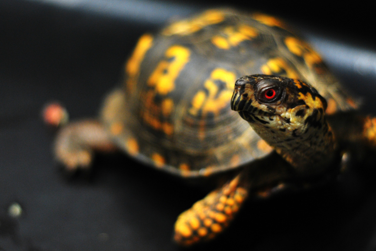April 12, 2012 One quick and easy way to tell whether an Eastern Box Turtle is a male: that brilliant red eye. —photo by Lizzy Myers