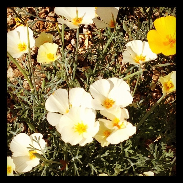 Pretty #flowers on my walk this morning (Taken with instagram)