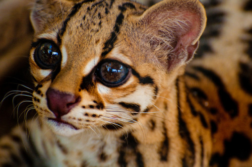 funkysafari:  Margay at La Selva Wildlife Refuge in Costa Rica by athena113
