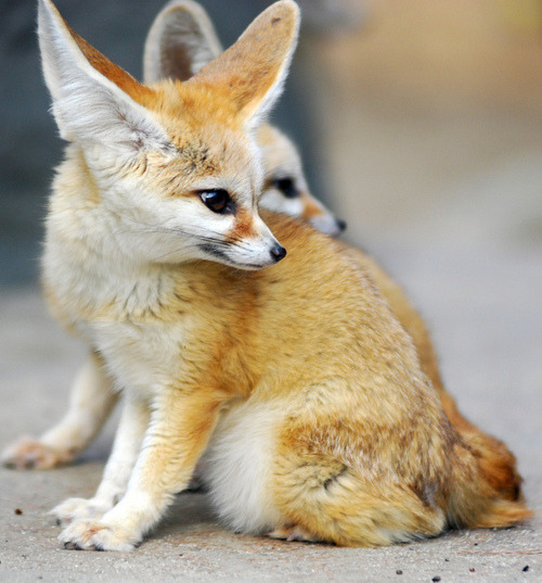 funkysafari:  Fennec fox by floridapfe