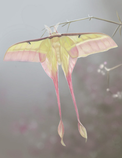 Male Chinese Moon moth (actias dubernardi)