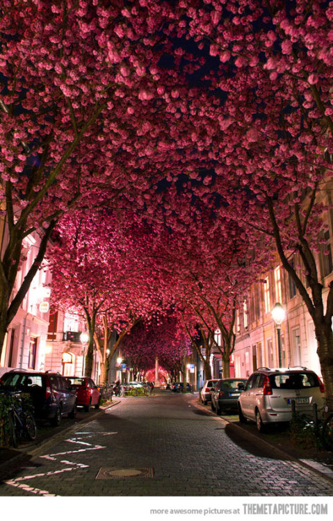 exuberantlyexploring:  lisa-cardozo:  Cherry Blossom Ave.  Absolutely beautiful   I love this :)
