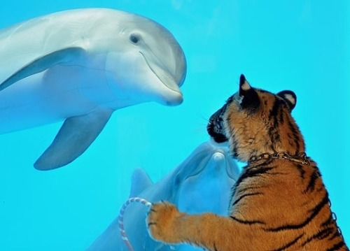 A dolphin and a tiger meeting. Just like in nature.