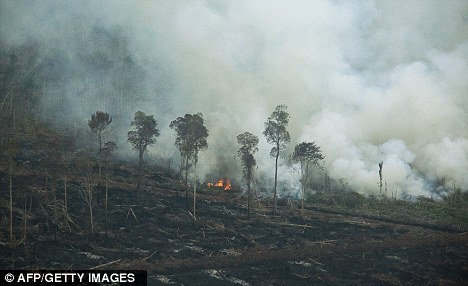"climateadaptation:  Looks like about 200 orangutans were killed. I'll post more in the am. sexyactionplanet:  Sumatran Orangutan: ""It is no longer several years away, but just a few months or even weeks before this iconic creature disappears""Hundreds of orangutans are believed to have died in fires deliberately lit by palm oil companies in the last few weeks. Conservationists say the rare Sumatran orangutan could now be wiped out within weeks.  Read more here."