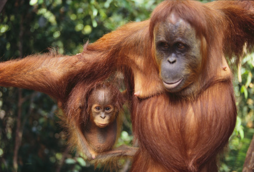 Hundreds of orangutans killed in north Indonesian forest fires deliberately started by palm oil firms
