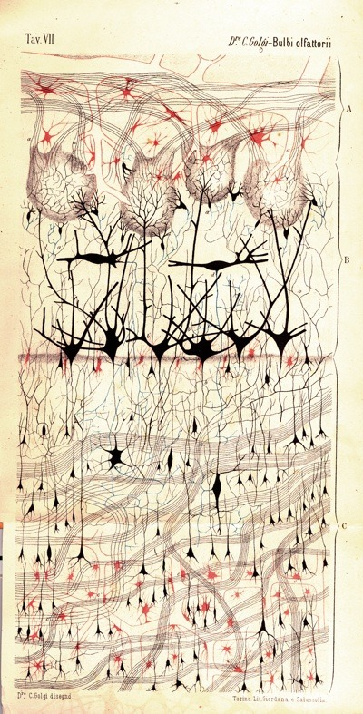 (via Stained beauty, naked neurons: visualizing the brain through history : bioephemera)