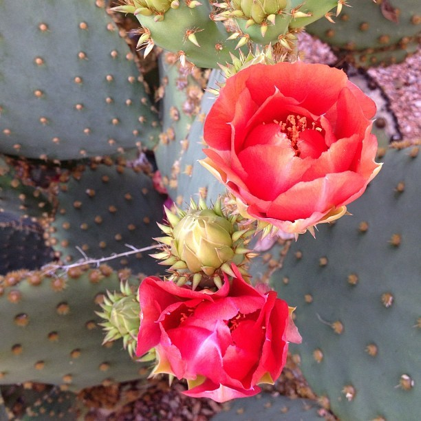 Cactus #flowers  (Taken with instagram)