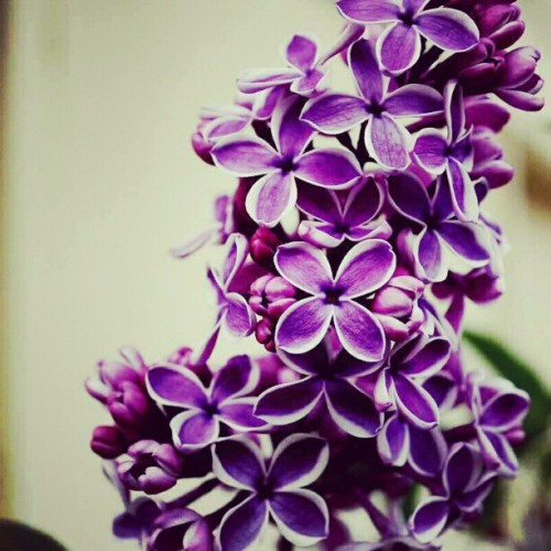#beautiful #pretty #purple #flowers #flower #plantlife #ig #igers #garden  (Taken with instagram)