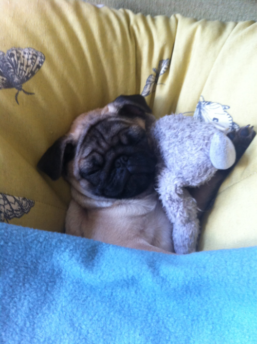 cutepugpics:  Shhhh! Puggie is getting his 15 hours of sleep! (via turnthepagebeloved)