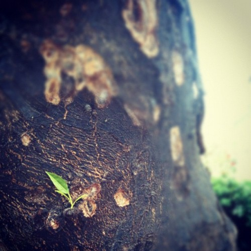 Can't beat the willpower on a burnt tree…. (Taken with instagram)