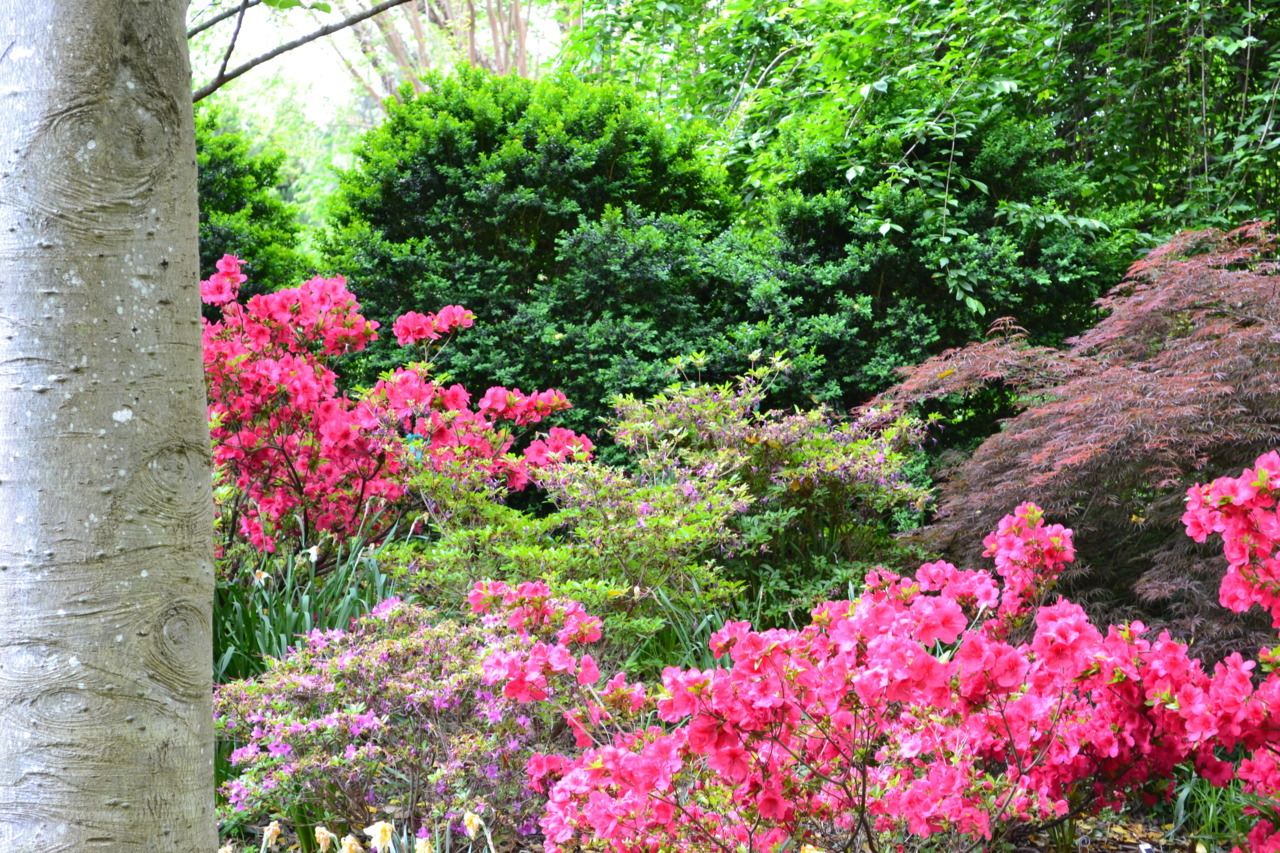 lewisginter:  Azalea's in bloom along the Woodland Walk at Lewis Ginter Botanical Garden. (Photo by Garrett McLee)