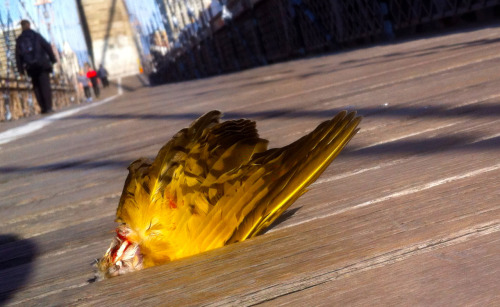 Seen on the Brooklyn Bridge this morning: It seems a snacking falcon or hawk dropped this wing (possibly from a Northern Flicker?) which then became wedged in the wooden walkway. Peregrine Falcons nested on the bridge at one time and I often see falcons perched on the bridge during my ride to work. —AP