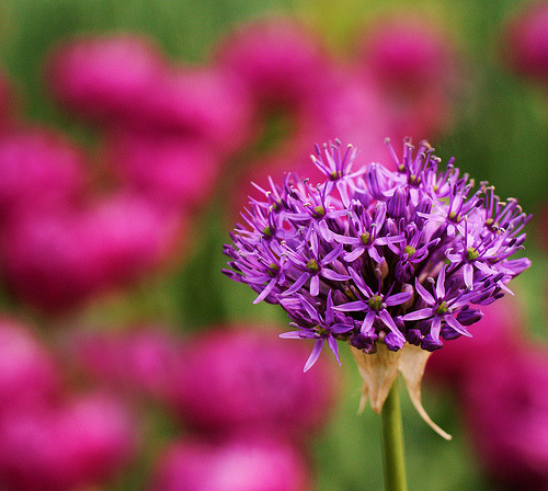 Purple Allium (by j man ツ)