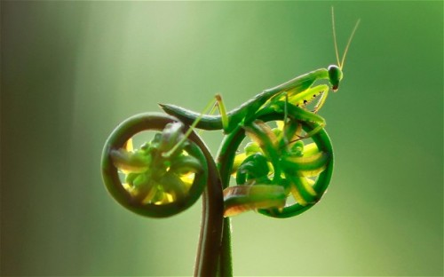 kqedscience:  This praying mantis is going for a bicycle ride!