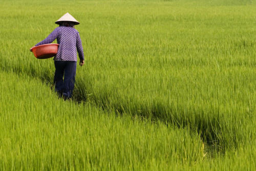 teleological:  Rapid Climate Change Threatens World's Rice Bowl As Asia's monsoon season begins, leading climate specialists and agricultural scientists warn that rapid climate change and intensified droughts and floods could devastate Southeast Asia's global dominance in rice production, posing a significant threat to millions of people across the region and affecting global food security. Last year's record flooding in Thailand and Southeast Asia was preceded by a record drought in 2010. These and many other extreme weather events have hammered global food prices, stretching their impact beyond the immediate personal and ecological tragedies. Climate change in South and Southeast Asia is expected to reduce agriculture productivity by as much as 50 percent in the next three decades, with a dramatic impact on stability and livelihoods. South and Southeast Asia is home to more than one-third of the world's population and half of the world's poor and malnourished. Agriculture is the backbone of most economies in the region, and such plunging yields would shake countries to the core. Read more.