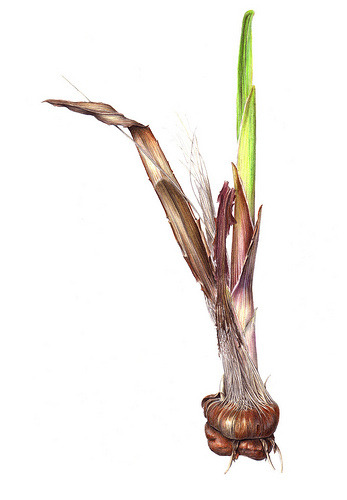 Crocosmia 'Lucifer' bulb coloured pencil (by Sigrid Frensen)