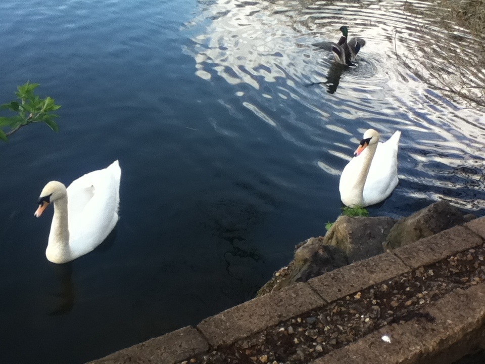 Today, the Crown in England retains ownership of all unmarked mute swans in open water.