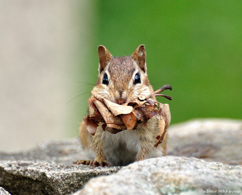 omg its soooooo freaking cute!!!!!  An Eastern Chipmunk (Tamias striatus) was returning to its burrow with a mouth full of leaves and paused to stare cautiously at the camera before moving on.